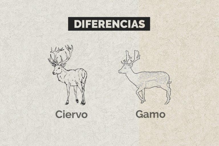 Diferencias Entre Ciervo Y Gamo
