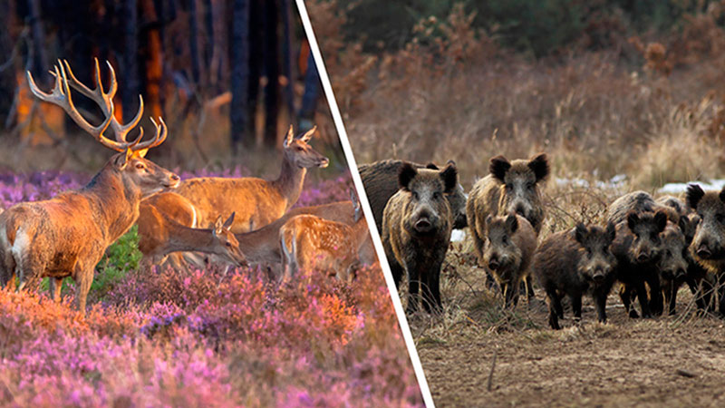 Diferencias Entre Ciervo Y Jabali