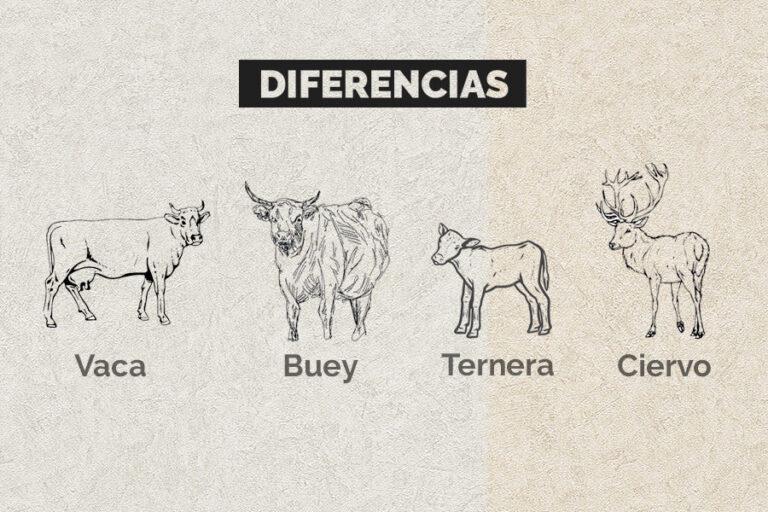 Diferencias Entre Vaca Buey Y Ternera