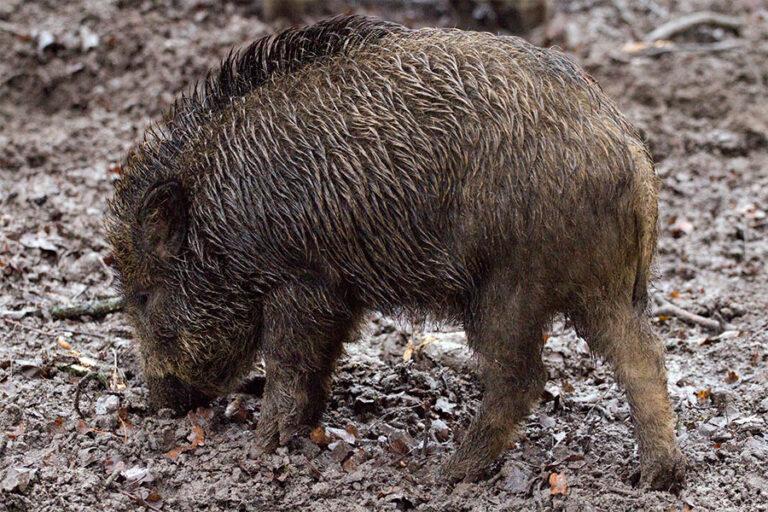 Jabali Animal De Monte Silvestre